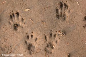 Western gray squirrel tracks by Texas Parks & Wildlife