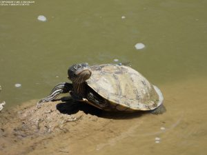 Nov. Chapter Meeting – The Triumph of Turtles in Urban DFW – Nov. 3 Wed –  Online or In Person!